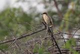 Brown Shrike, Uda Walawe NP, Sri Lanka