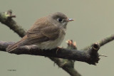 Brown-breasted Flycatcher, Horton Plains NP, Sri Lanka