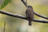Brown-breasted Flycatcher, Kithulgala, Sri Lanka