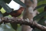 Brown-capped Babbler (E), Kithulgala, Sri Lanka