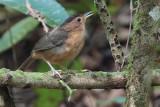 Brown-capped Babbler (E), Sinharaja, Sri Lanka