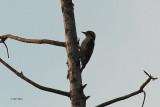 Brown-capped Woodpecker, Kithulgala, Sri Lanka
