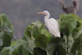 Cattle Egret, Blue Magpie Hotel-Sinharaja, Sri Lanka