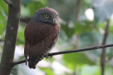 Chestnut-backed Owlet (E), Kithulgala, Sri Lanka