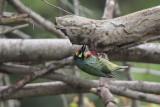 Coppersmith Barbet, Uda Walawe NP, Sri Lanka