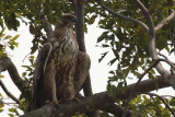 Crested Hawk Eagle, Uda Walawe NP, Sri Lanka