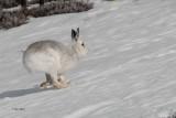 Mountain Hare, Meall Odhar-Glenshee, Perthshire