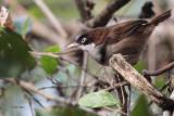 Dark-fronted Babbler, Kithulgala, Sri Lanka