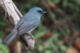 Dull-blue Flycatcher (E), Horton Plains, Sri Lanka