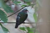 Emerald Dove, Blue Magpie Lodge, Sri Lanka
