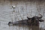 Eurasian Spoonbill and Buffalo, Uda Walawe NP, Sri Lanka