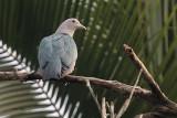 Green Imperial Pigeon, Kithulgala, Sri Lanka