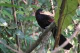 Green-billed Coucal (E), Kithulgala, Sri Lanka