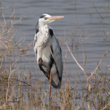 Grey Heron, Uda Walawe NP, Sri Lanka
