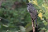 Grey-bellied Cuckoo, Uda Walawe NP, Sri Lanka