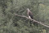 Grey-headed Fish Eagle, Uda Walawe NP, Sri Lanka
