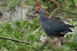 Grey-headed Swamphen, Tissamaharama, Sri Lanka
