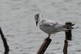 Gull-billed Tern, Bundala NP, Sri Lanka