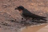 Hill Swallow, Horton Plains NP, Sri Lanka