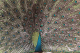 Indian Peafowl, Uda Walawe NP, Sri Lanka