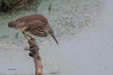 Indian Pond Heron, Uda Walawe NP, Sri Lanka