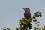 Indian Roller, Uda Walawe NP, Sri Lanka