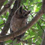 Indian Scops Owl, Centauria Lakes Hotel, Sri Lanka