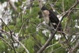 Jacobin Cuckoo, Uda Walawe NP, Sri Lanka