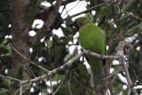 Jerdon's Leafbird, Bundala NP, Sri Lanka