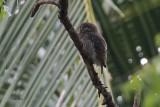 Jungle Owlet, Tissamaharama, Sri Lanka