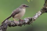 Jungle Prinia, near Blue Magpie Lodge, Sri Lanka