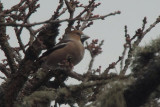 Hawfinch, Scone Palace, Perth & Kinross