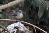 Kashmir Flycatcher, Victoria Park-Nuwara Eliya, Sri Lanka