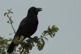 Large-billed Crow, Nuwara Eliya, Sri Lanka