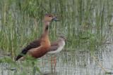 Lesser Whistling Duck & Redshank, Bundala NP, Sri Lanka