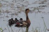 Lesser Whistling Duck, Bundala NP, Sri Lanka