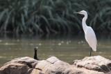 Little Egret, Kelani River-Kithulgala, Sri Lanka