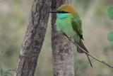 Little Green Bee-eater, Uda Walawe NP, Sri Lanka