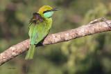 Little Green Bee-eater, Yala NP, Sri Lanka