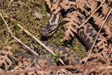 Adder (male), East Loch Lomond