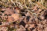 Adder (female), East Loch Lomond