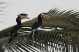 Malabar Pied Hornbill, Tissamaharama, Sri Lanka