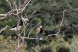 Malabar Pied Hornbill, Yala NP, Sri Lanka