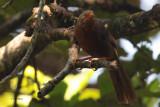 Orange-billed Babbler, Sinharaja NP, Sri Lanka