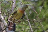 Orange-breasted Green-pigeon, Uda Walawe NP, Sri Lanka