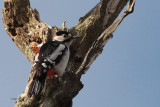 Great Spotted Woodpecker, Drymen, Clyde
