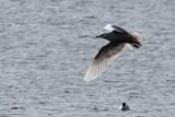Iceland Gull, Loch Indaal, Islay