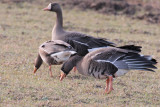 Greenland White-fronted Geese, Islay