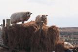 Sheep, Sanaigmore Bay, Islay