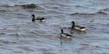 Pale-bellied Brent Geese, Loch Indaal, Islay